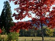 Arboretum red tree and fence
